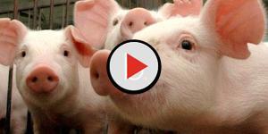 Transplante de órgãos de porcos para seres humanos poderá se tornar realidade