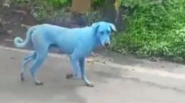Cães aparecem azuis na Índia e imagens viralizam na web