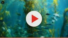 Una variedad de alga podría salvar a los corales marinos