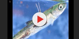 VIDEO: Salmoni atlantici in fuga nel Pacifico: a rischio intero ecosistema