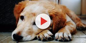 Cachorro come carne de churrasco e é esquartejado na mesma hora