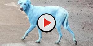 Lo strano fenomeno dei cani blu: il mistero è stato svelato