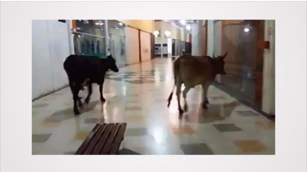 Bizarro: Duas vacas 'amigas' fazem passeio em shopping. Veja o vídeo