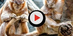 Video: una dozzina di scimmie morte per arresto cardiaco simultaneo