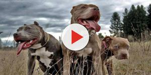 Video: Bambina sbranata dai suoi due pitbull, il Codacons chiede provvedimenti