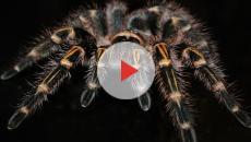 Rischio di morte per una puntura di ragno