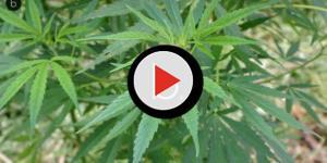 Video: L'escamotage degli spacciatori americani per vendere marijuana legalmente