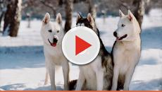 What it's like to own a dream dog, siberian husky