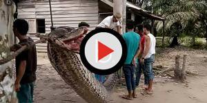 Na Indonésia homem luta com cobra gigante e vence