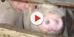 OGM: maiali mutanti prodotti in Cambogia