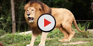 Mulher teria tido a cabeça arrancada por leão ao fazer sexo com ele