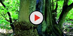 Vídeo: Pisonia la asesina en serie involuntaria de pájaros