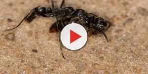 Anche le formiche regine seppelliscono i loro morti: perché?