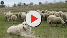 Sardegna, non riesce a vendere il latte: allevatore uccide 135 pecore e 4 cani