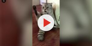 Assista: vídeo com um gato ao descobrir que foi castrado 'quebra' a internet