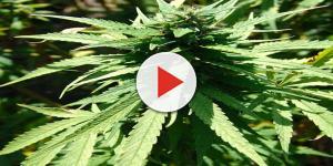 Salento: trova 32 kg di marijuana mentre passeggia