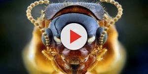 La minaccia per i frutteti è un insetto