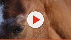 Calígula quiso tener un caballo cónsul