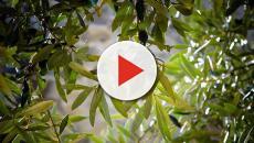 Tragedia in Calabria, muore mentre raccoglie le olive