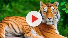 Tigre addenta la mano di un anziano: l'uomo rischia l'amputazione