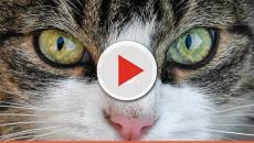 Descubra o que seu gato está tentando te 'falar'