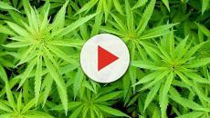 Illinois is not ready to marijuana legalization.