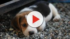 Busted! Beagle Pup Gets Caught Trying to Escape Cage
