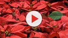 Poinsettia: The pronouncement debate rages on