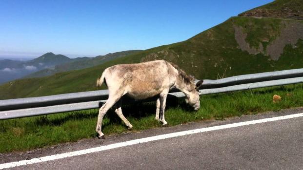 Traffico causato da un equino, precisamente da un asino