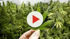 VIDEO: Consecuencias de la legalizacion de la marihuana en Estados Unidos