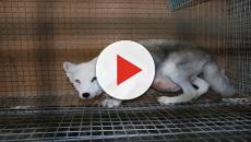 La Norvegia vieta gli allevamenti di animali da pelliccia