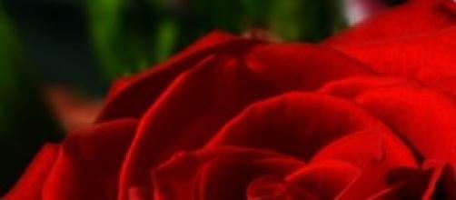 Una rosa roja en pleno desarrollo vital