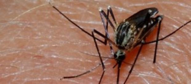 O Aedes aegypti é um dos vetores da doença
