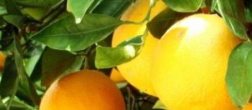 Temporada de recogida de naranjas