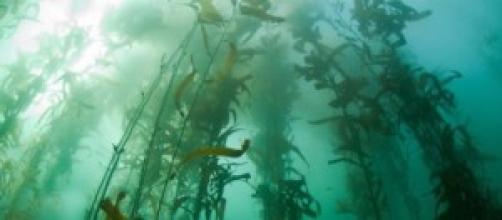 Imagen del cultivo de algas en cuerdas