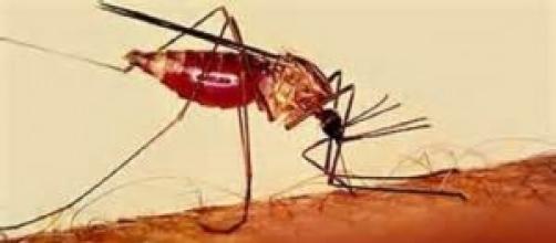 El mosquito Anopheles,  transmisor de la malaria