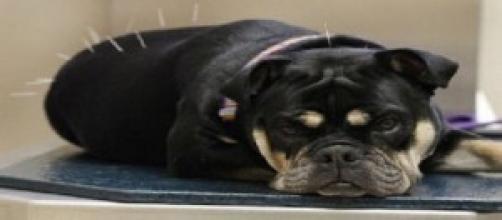 Foto: Pet da Arca - Acupuntara em cães