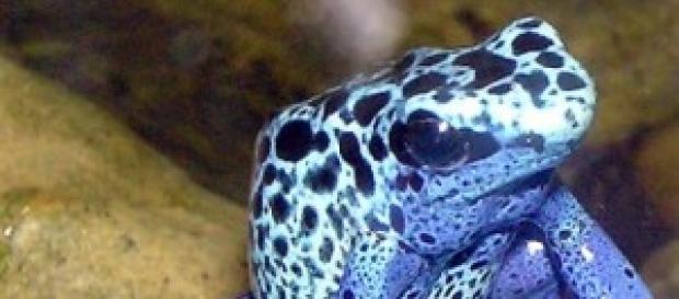 Dendrobates azureus (Fonte: Wikimedia)
