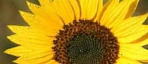 girassol gira com os raios solares