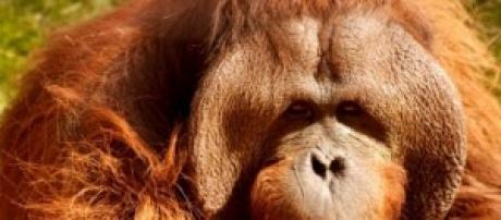 Piden considerar personas a los orangutanes.