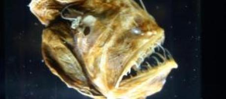 Ejemplar de Melanocetus jonhsonii.
