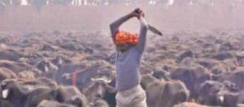 Orribili sacrifici di animali per una dea indù