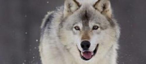 Imagen de un archivo de un lobo.