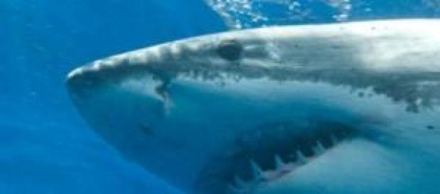 Foto de Tubarão Branco, podendo chegar a 6 metros.