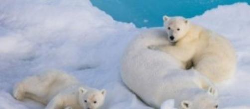 Fotografía de los osos polares