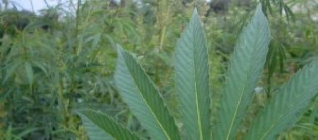 Ayer se votó por la legalización de la marihuana.