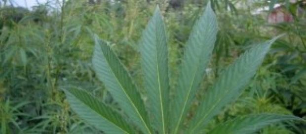 La legalización del cannabis se votó ayer..