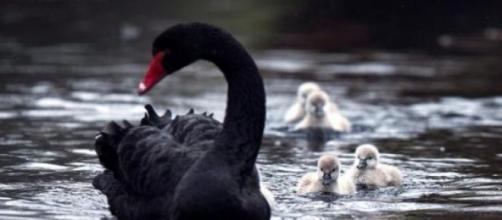 'Cisnes negros' o acontecimientos sorprendentes