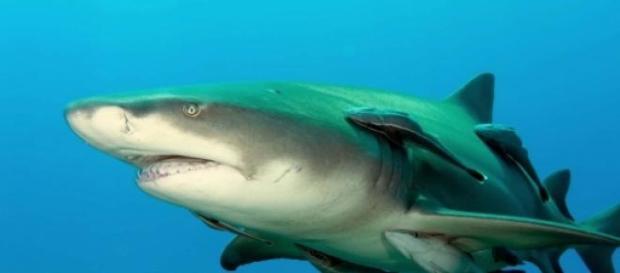 Tiburones limón podrían tener personalidad propia