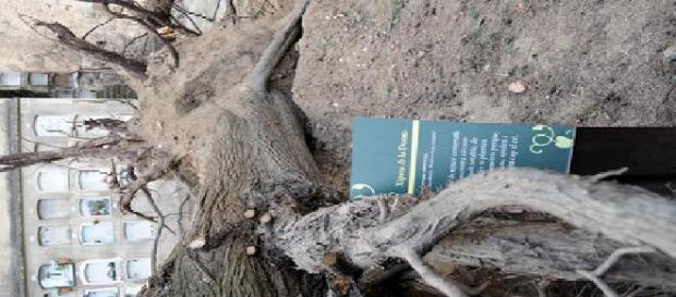 Al caer el ciprés quedó a la vista una fosa común